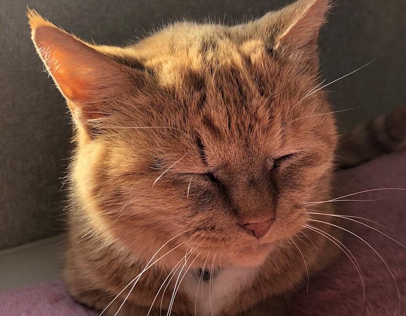 猫が食物アレルギーかも!その症状と原因は?嘔吐や下痢には要注意!