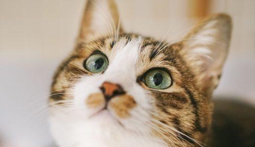 猫が人間の食べ物を欲しがる時は要注意!食べれる物&危険な食べ物とは!?
