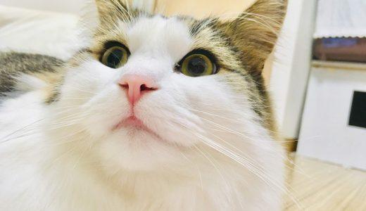 一人暮らしで猫を飼うと後悔するかも!失敗しないための注意点とは?猫を飼う費用や飼い方・デメリットや必要なものをすべてご紹介!