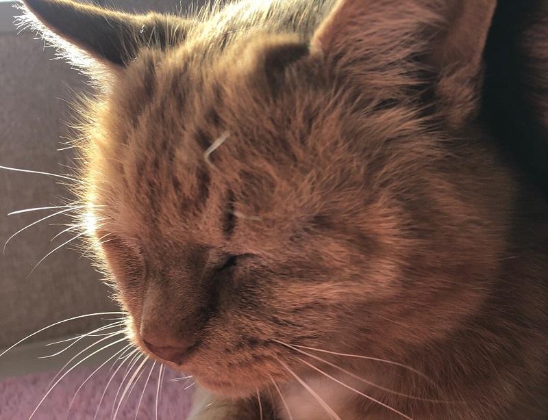 猫の食物アレルギーの症状