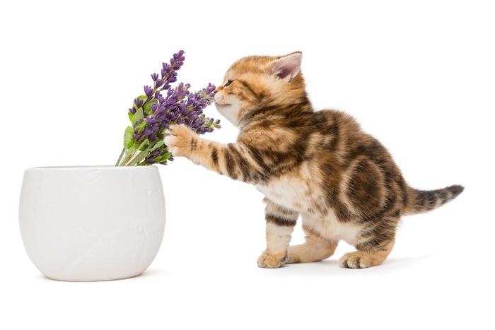 これだけは知っておきたい!猫にラベンダーが危険な2つの理由!
