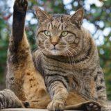 オス猫の去勢手術後の注意点!でる症状やトイレ・餌・性格の凶暴化で暴れる原因!