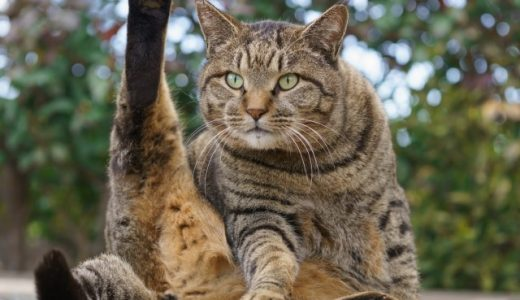 オス猫の去勢手術後の注意点!でる症状やトイレ・餌・性格の凶暴化で暴れる原因!下痢や嘔吐、血尿など体調に変化がでる場合もあります!