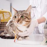 メス猫の避妊手術は日帰りできる?かかる時間や手術の流れ・入院した方がいい場合とは?