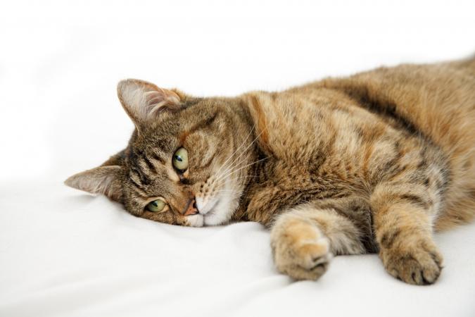 猫がラベンダー中毒になったときの症状と引き起こしやすい病気とは?