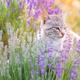 猫にラベンダーは要注意!毒で命にかかわる危険性!香りだけで死に至ることも!