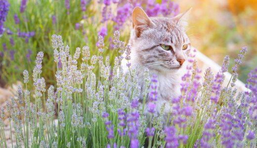 猫にラベンダーは要注意!毒で命にかかわる危険性!香りだけで死に至ることも!猫がラベンダー中毒になった症状や自宅でできる対処法とは?