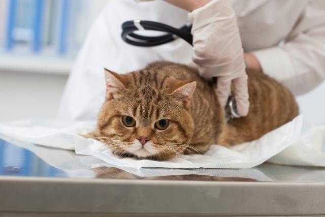 猫の去勢手術&避妊手術の費用はどれくらい?助成金で安くする裏技あり!オス猫・メス猫の場合にかかる手術費用から安くする方法までを解説!