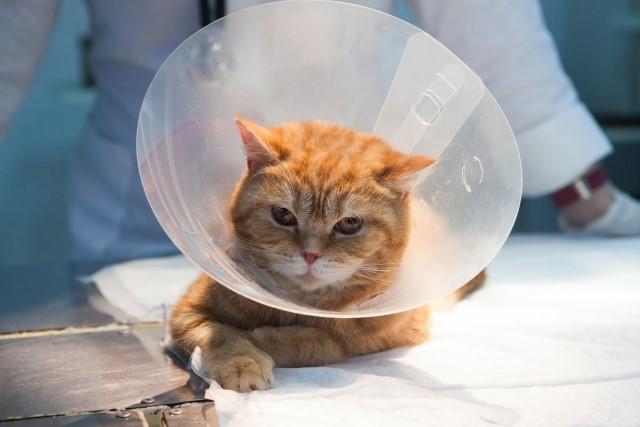 猫の避妊手術後、注意することは?