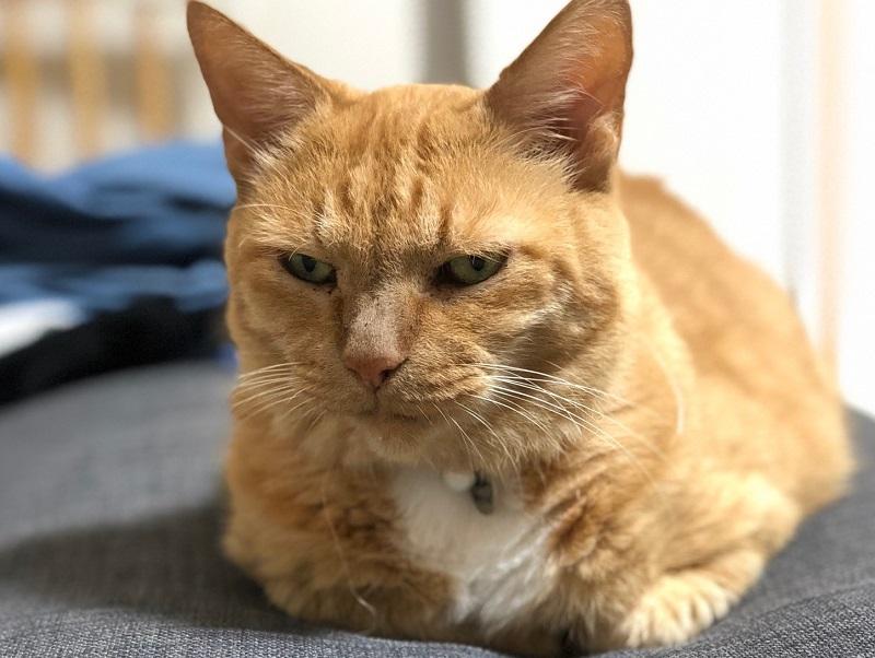 【シニア高齢猫に多い病気】かかりやすい病気ランキング『ベスト3』